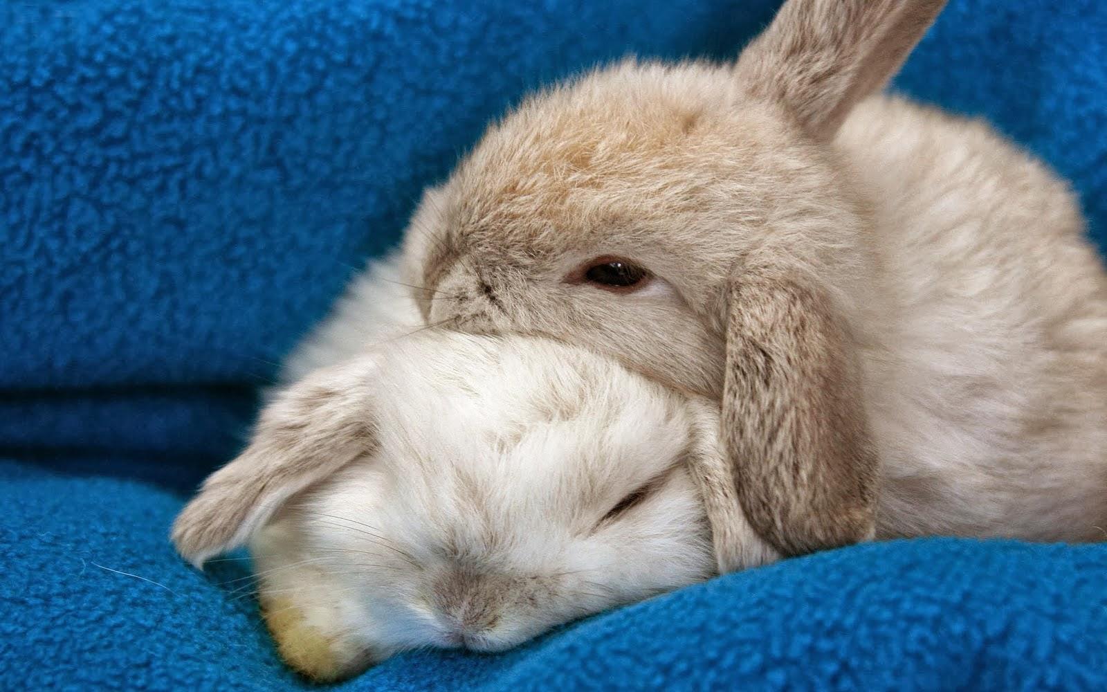 Animals Hd Wallpapers 2015 Funny Kissing Hugging Baby: Baby Bunny Wallpaper Desktop