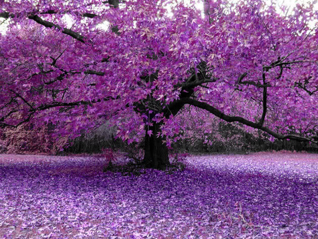 nature season wallpapers for Purple tree wallpapers HTC salsa 640x480
