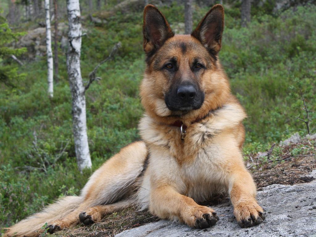 German Shepherd Wallpapers Fun Animals Wiki Videos Pictures 1024x768