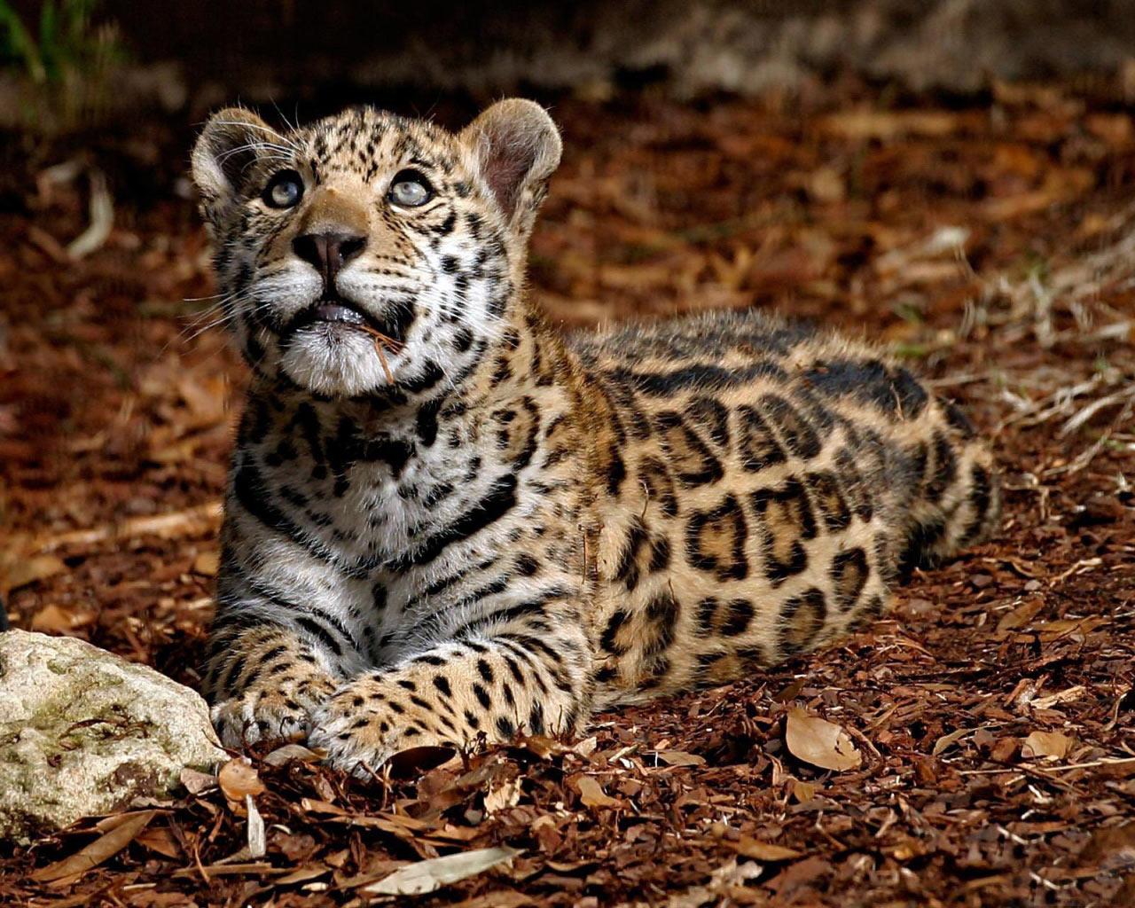 Wallpaper et Fond dcran Leopard Cub 1280x1024 1280x1024