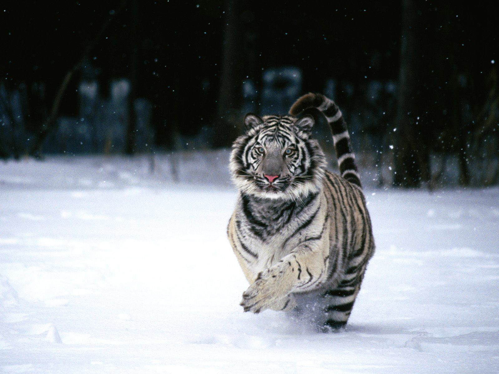 Running white tiger hd wallpaper 1600x1200