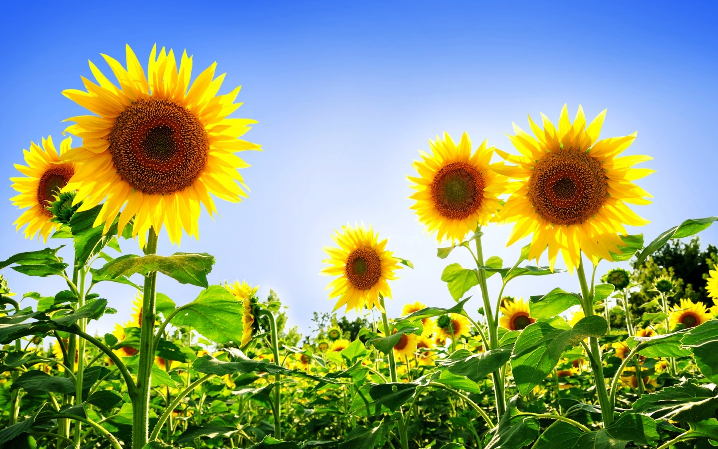 Gorgeous Sunflowers Wallpapers HD Wallpapers 1440x900