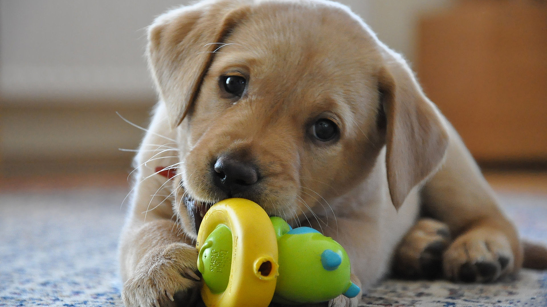 FileLabrador Retriever yellow puppyjpg   Wikipedia   m5xeu 1920x1080