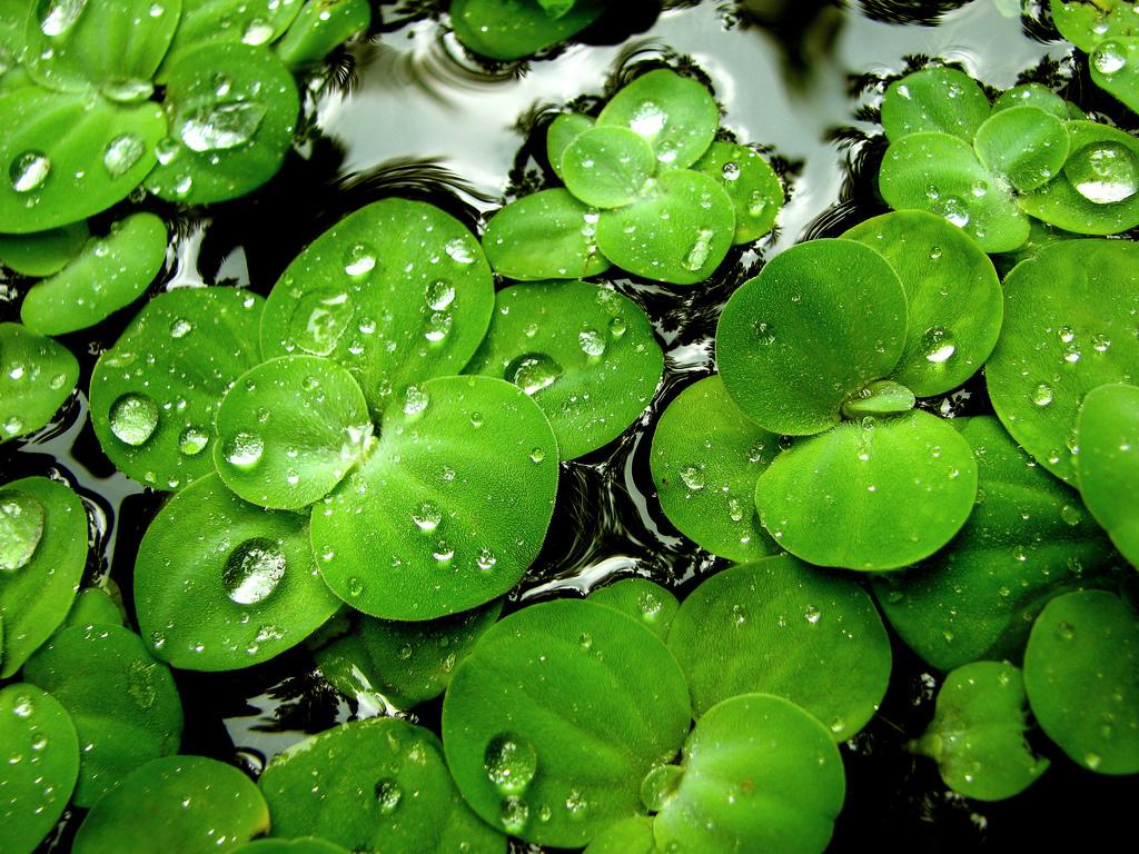 Green Lilies Wallpaper   Green Wallpaper 3844894 1024x768