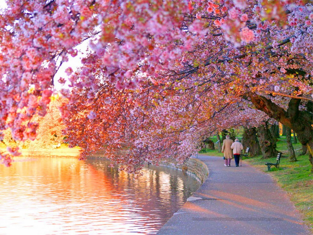 Beautiful Wallpapers For Desktop Cherry Blossom wallpapers hd 1024x768