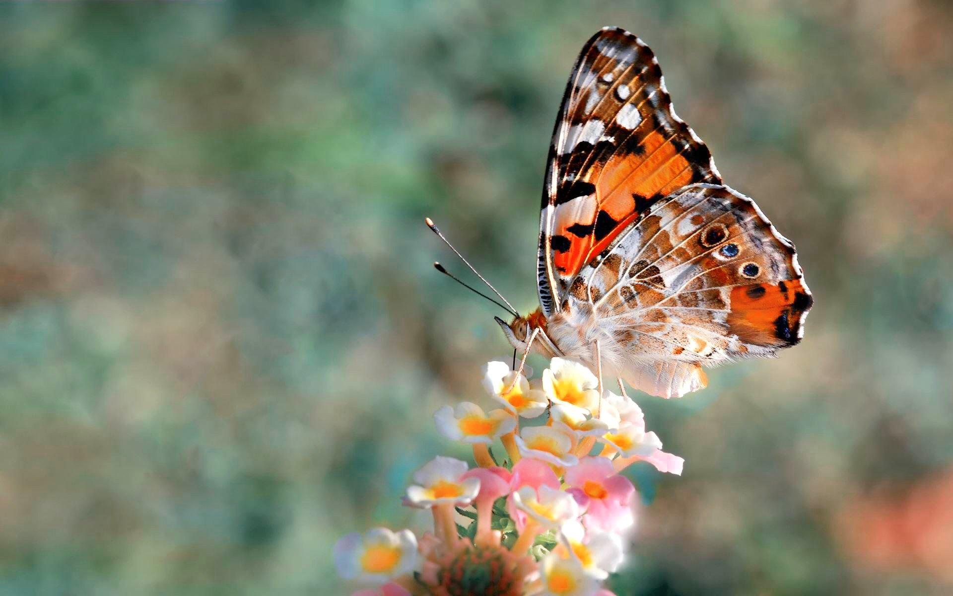 Butterfly wallpaper HD 1920x1200