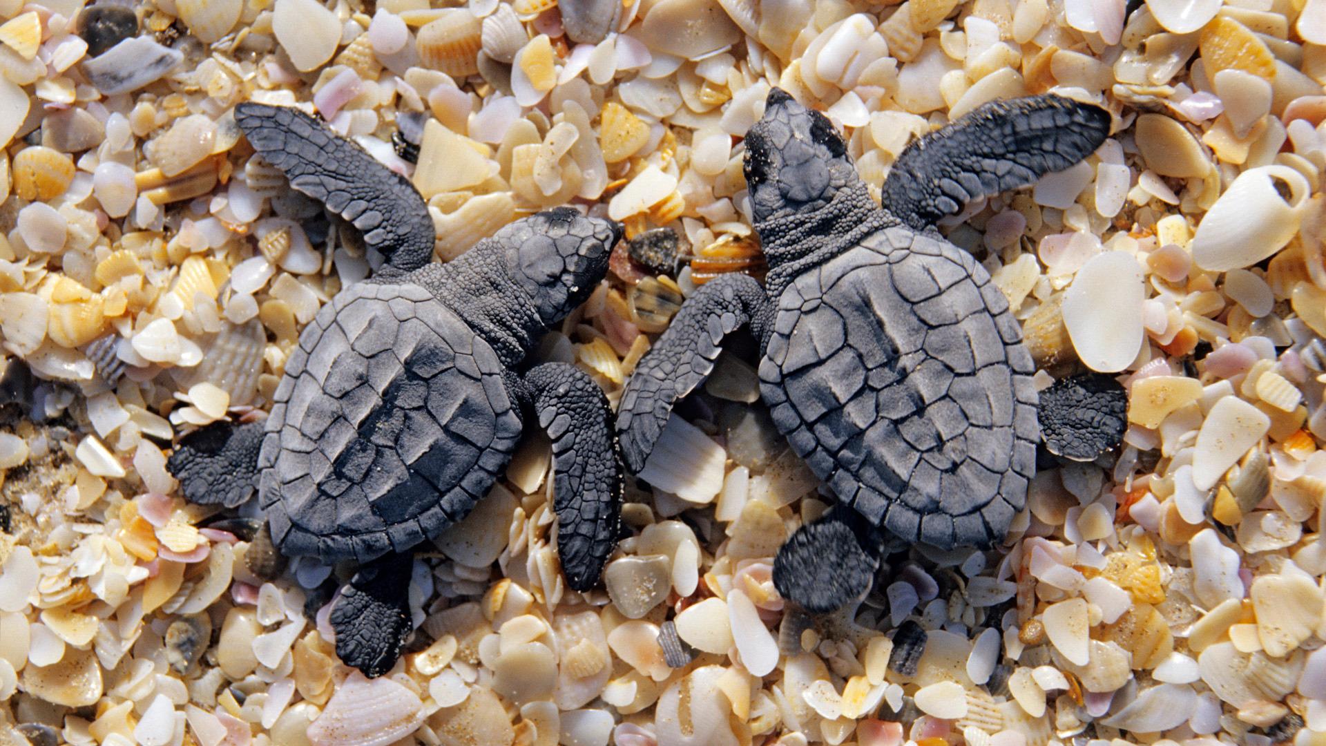 Baby turtles wallpaper 6628 1920x1080