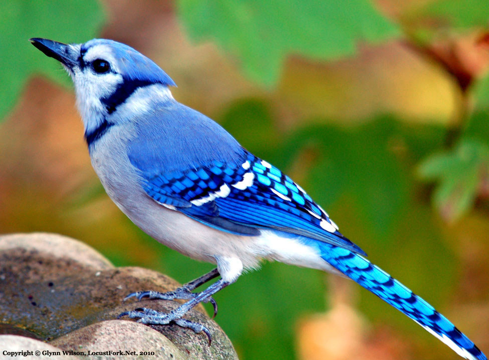 Blue Jay wallpaper for mobile Birds Wallpaper Blue Jay 976x720