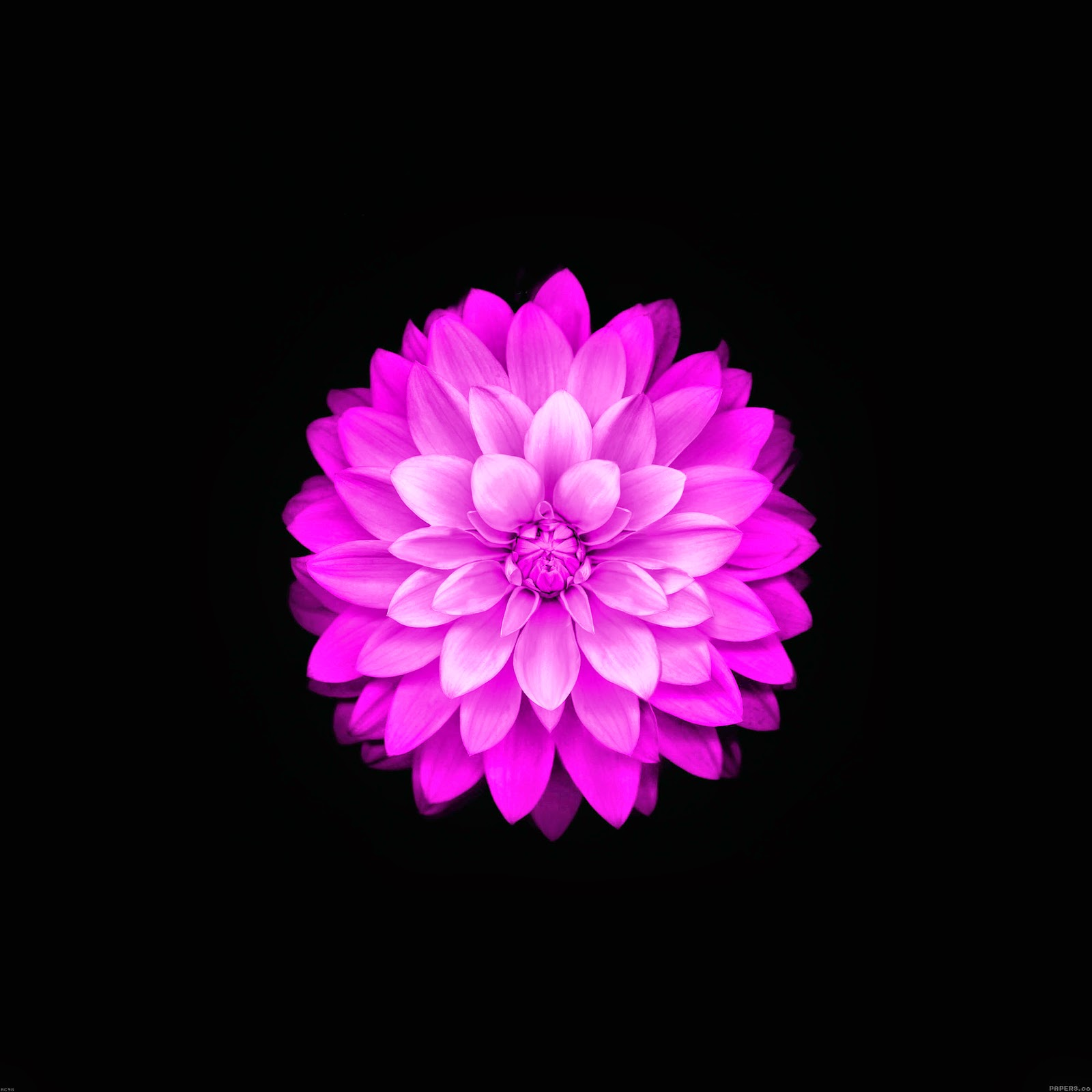 IPhone 6 Plus Flower Wallpaper