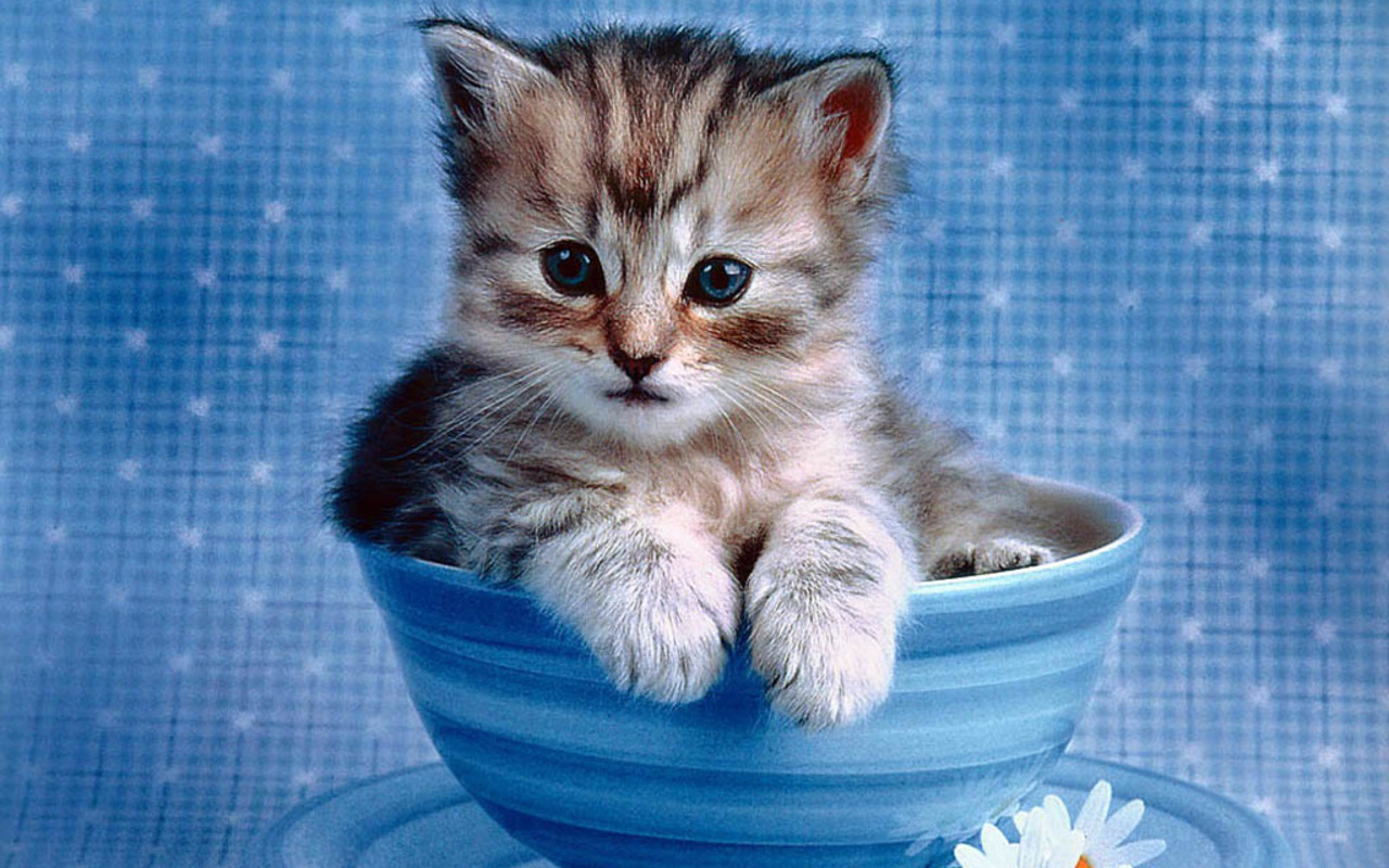 Cute Kitten Wallpaper   Kittens Wallpaper 16094683 1280x800