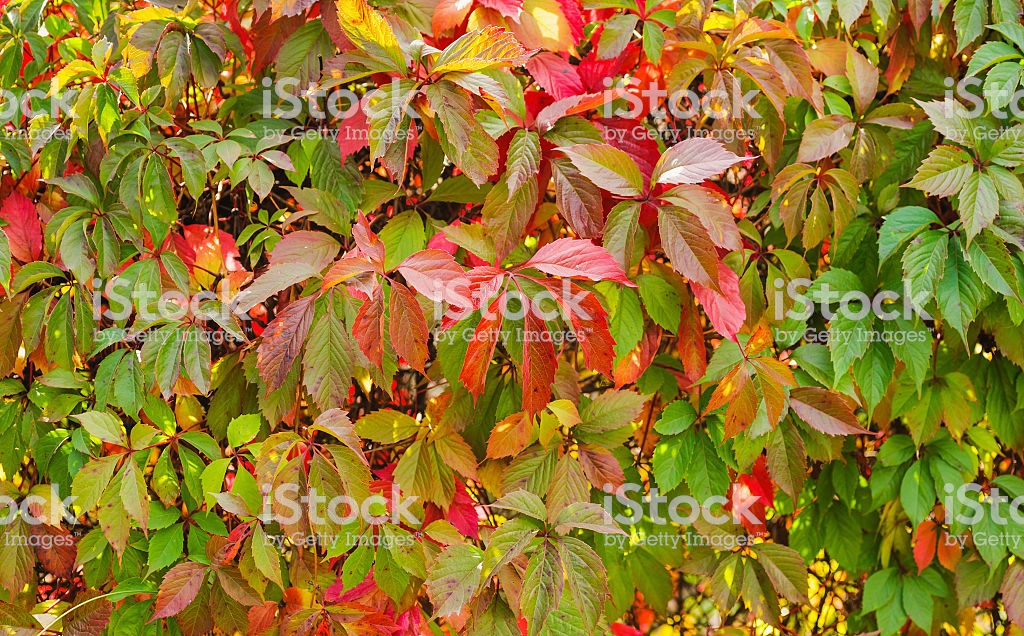 Virginia Creeper Backgrounds Stock Photo   Download Image Now   iStock 1024x636
