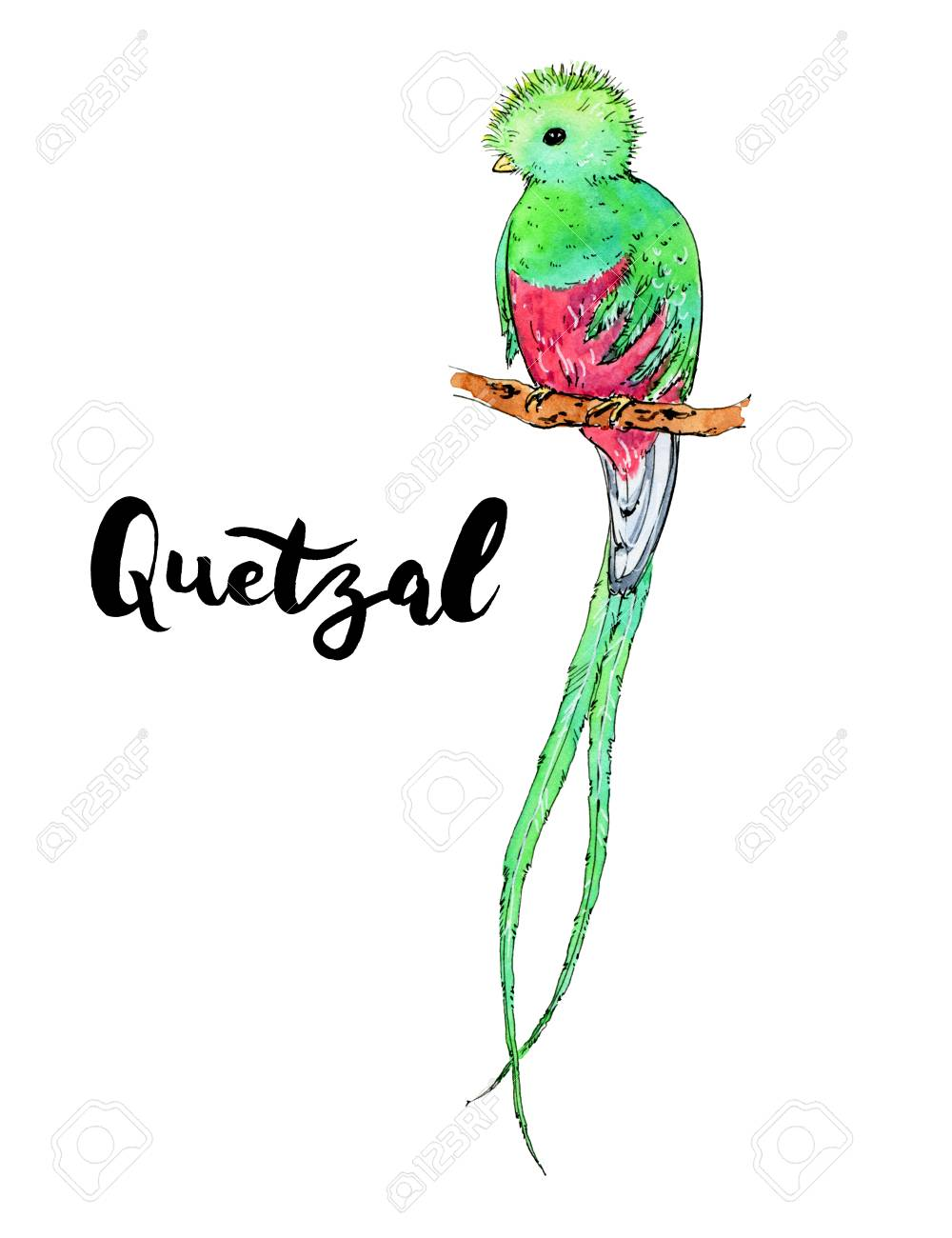 Hand Drawn Watercolor Isolated Bird Quetzal With Handwritten 1000x1300