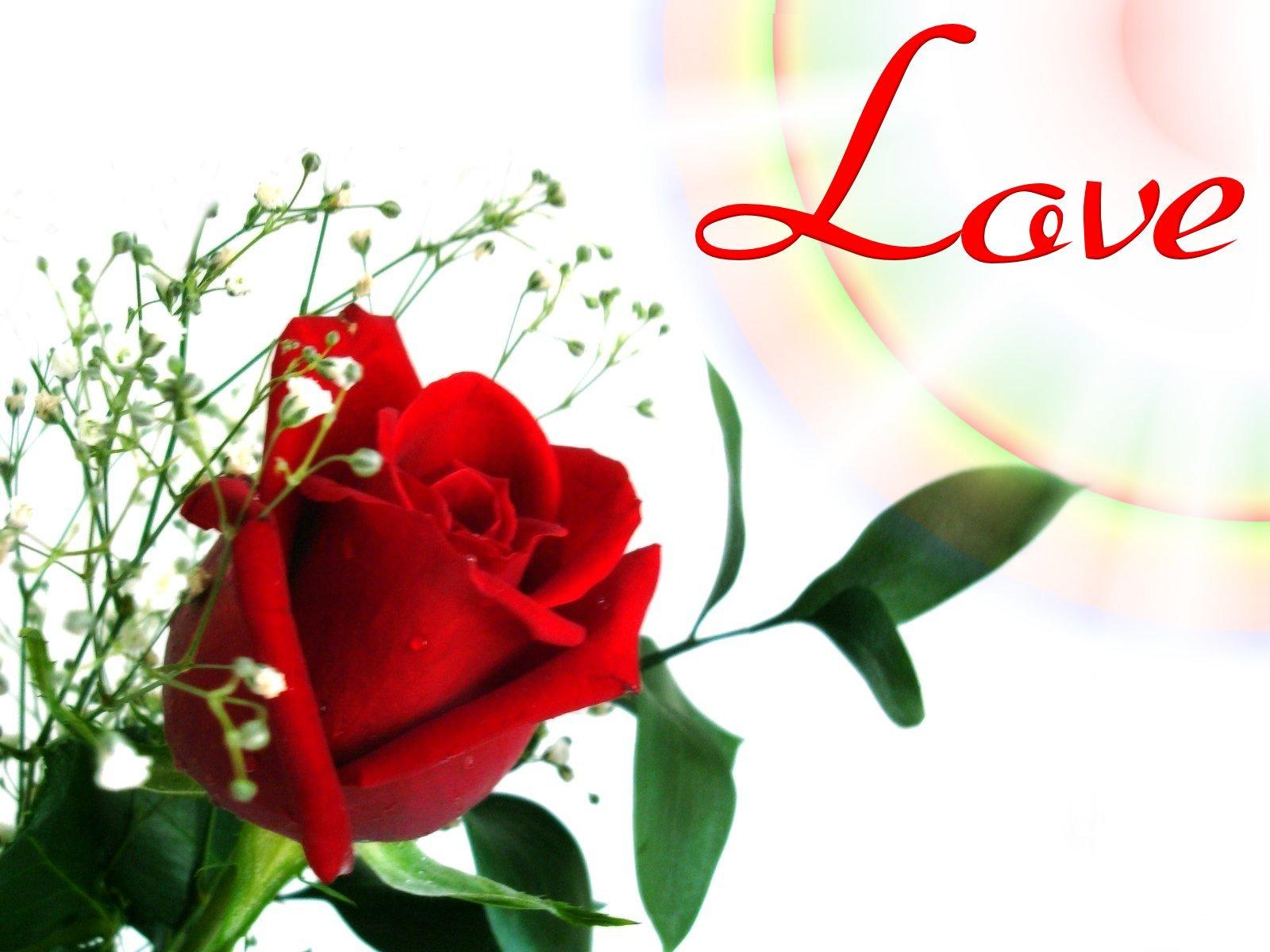 flower wallpaper red rose  wallpapersafari, Beautiful flower