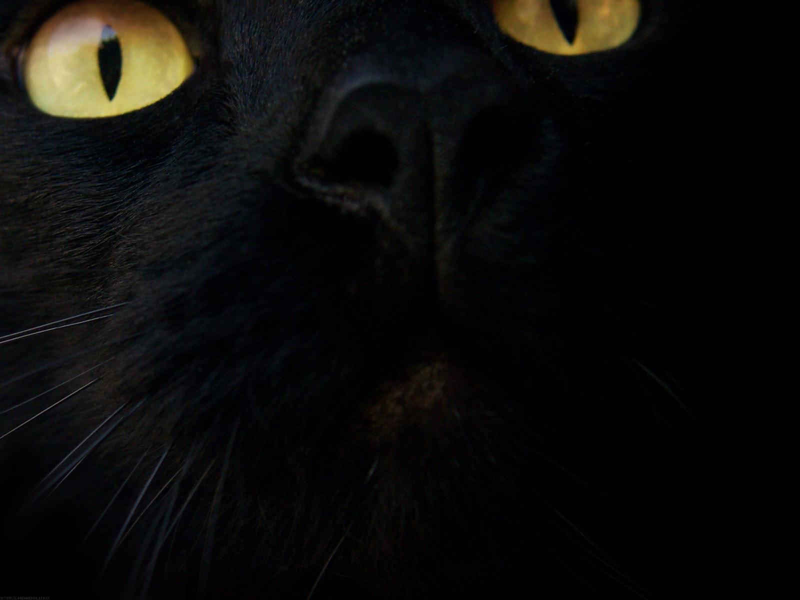 Black Cat Wallpaper   Black Wallpaper 28305470 1600x1200