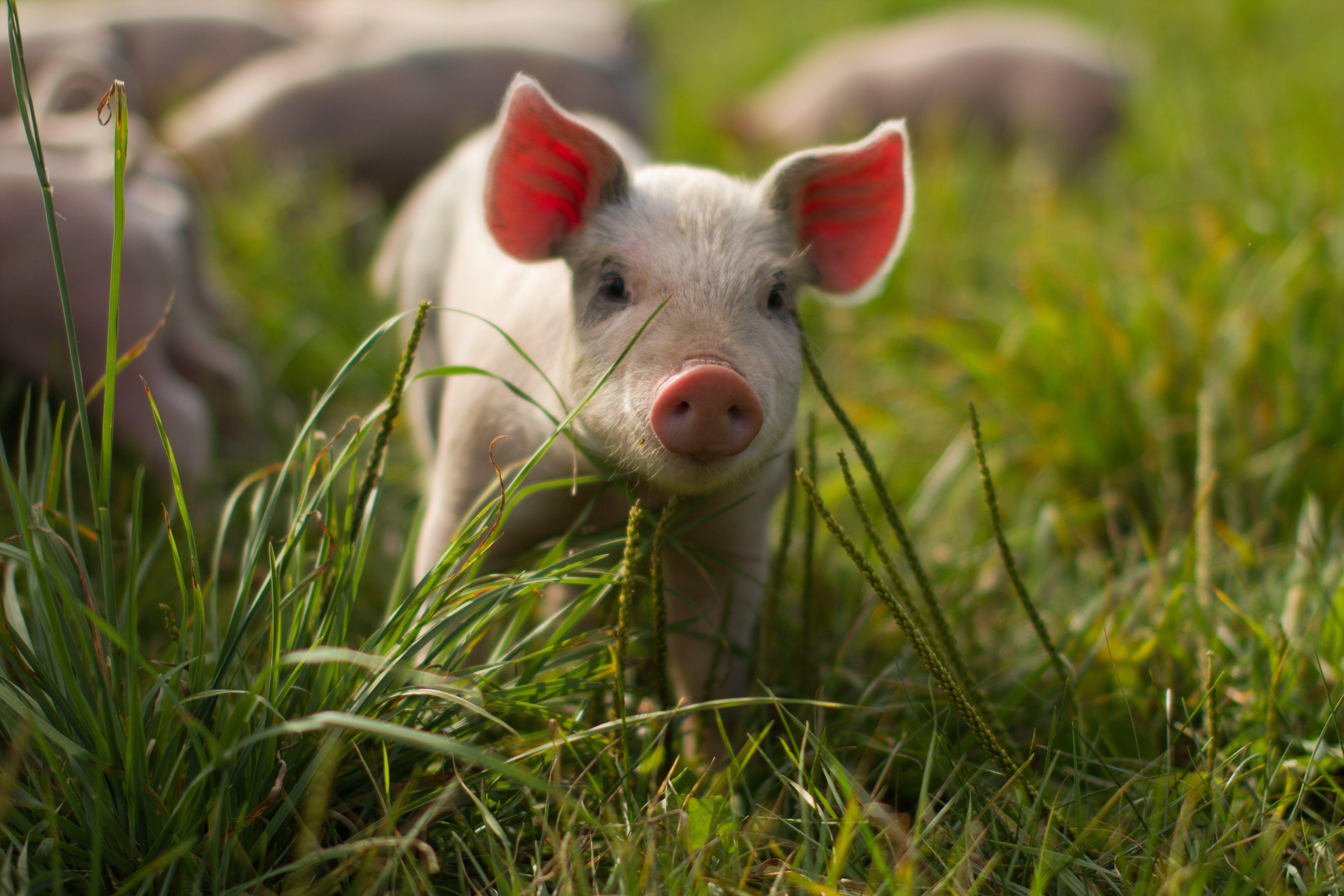 Baby Pigs Wallpapers 5184x3456