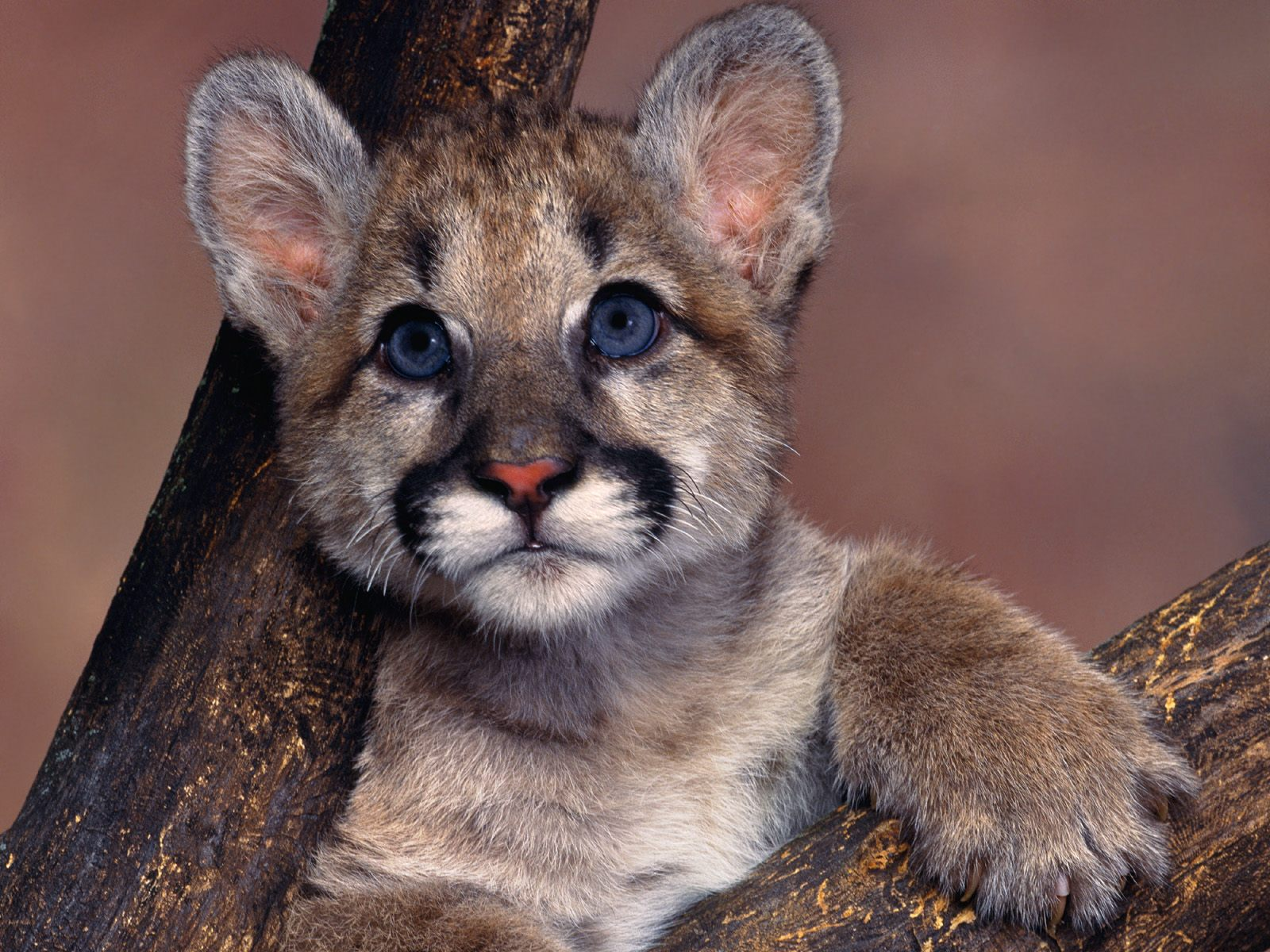 Mountain Lion Cub Wallpaper Baby Animals Pictures 1600x1200