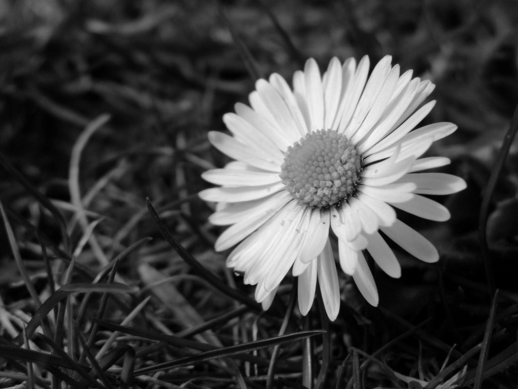 Daisy Flower Black And White Wallpaper Black and White...