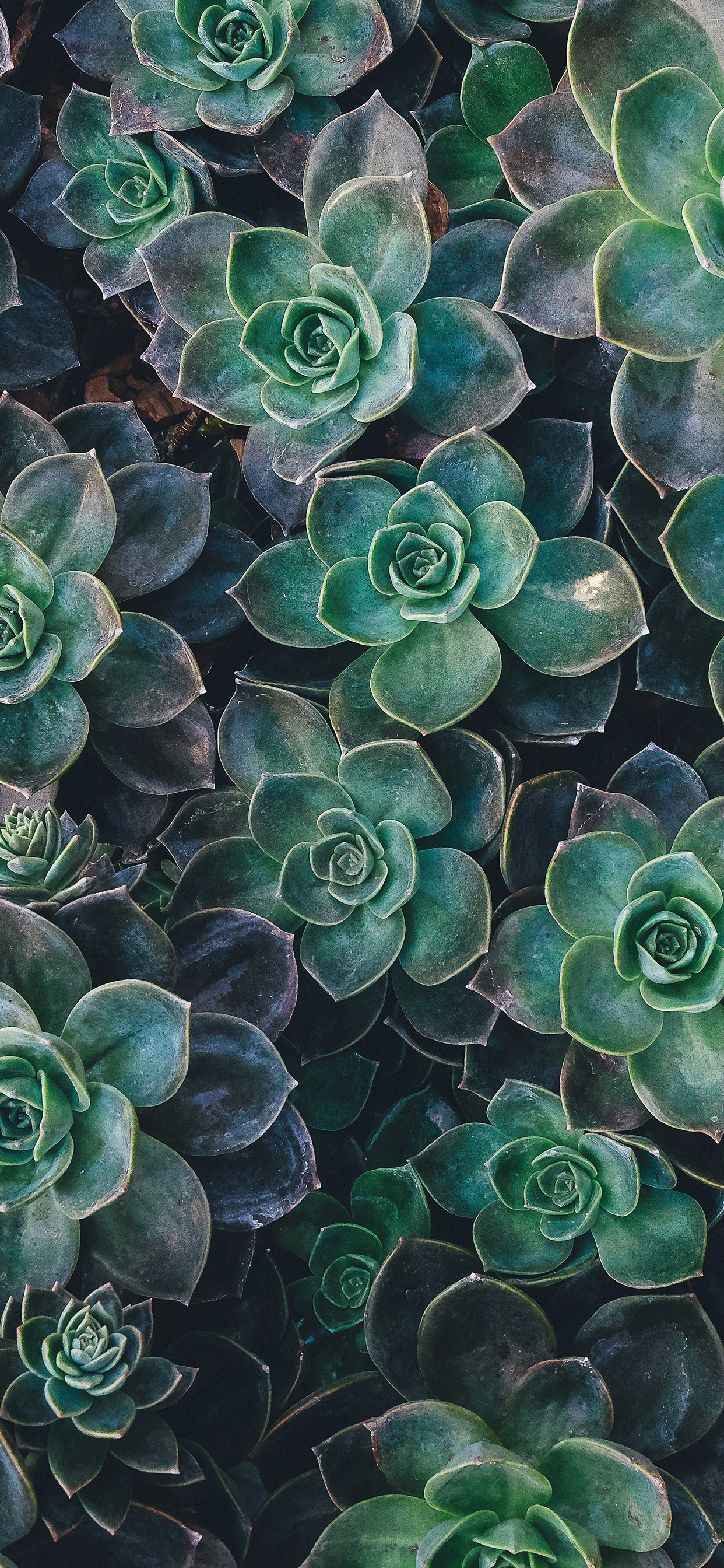 Iphone Wallpaper Succulent Plant Garden Succulent Plant   Galaxy 1242x2688