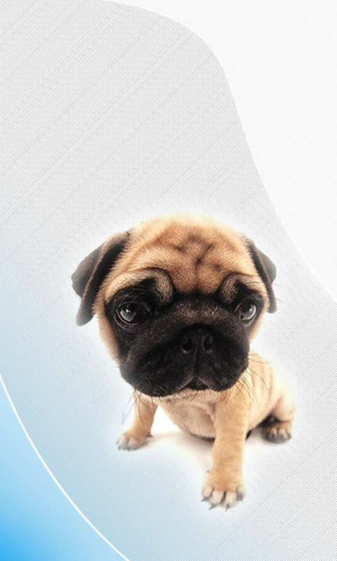 Pug HD Wallpapers Live wallpapers HD for Android software for 480x800
