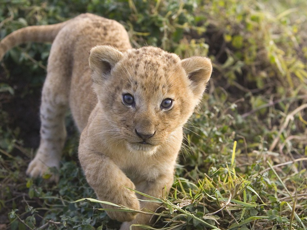 Lion Cubs Wallpapers HD Wallpapers Pictures Images Backgrounds 1024x768