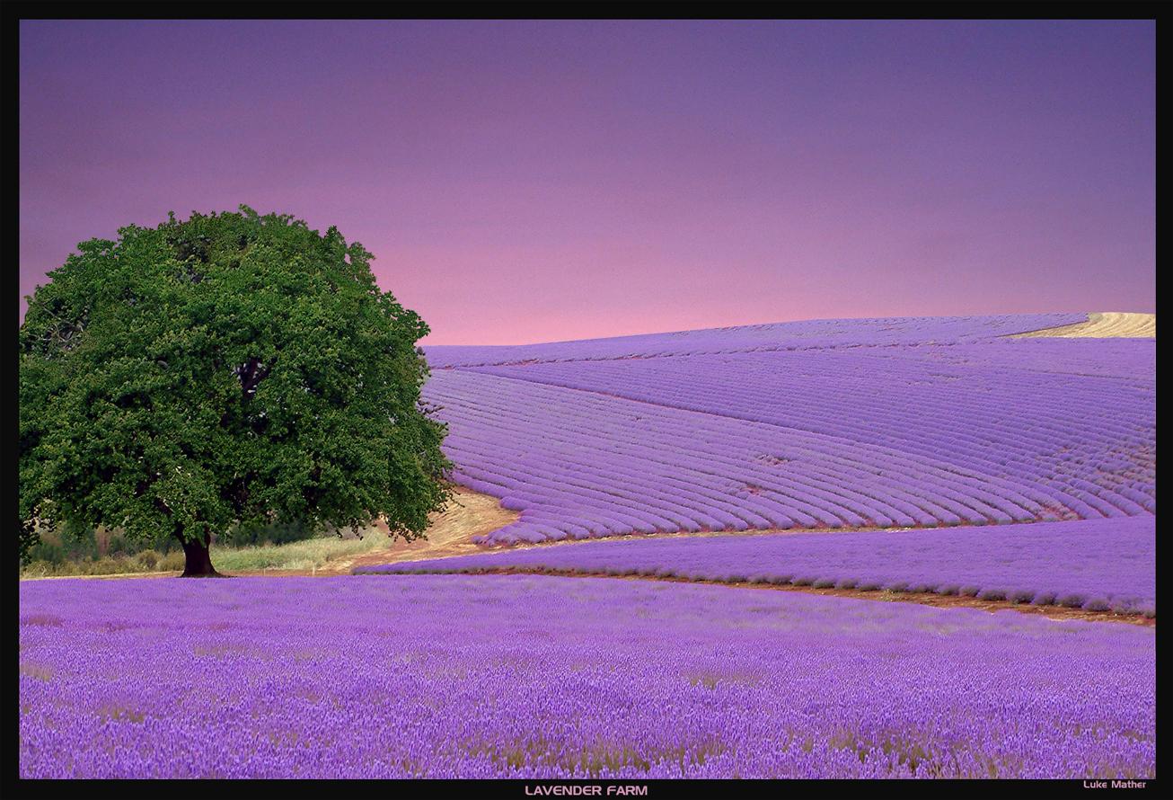 Lavender Color Wallpaper wallpaper Lavender Color Wallpaper hd 1306x890