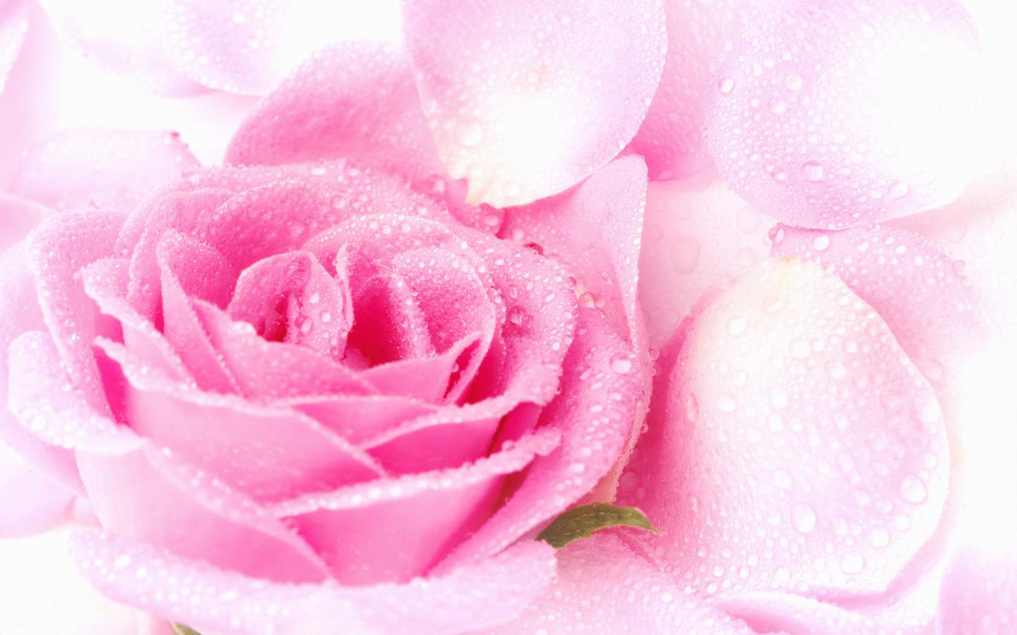 Pink Color Pretty Pink Roses Wallpaper 1440x900