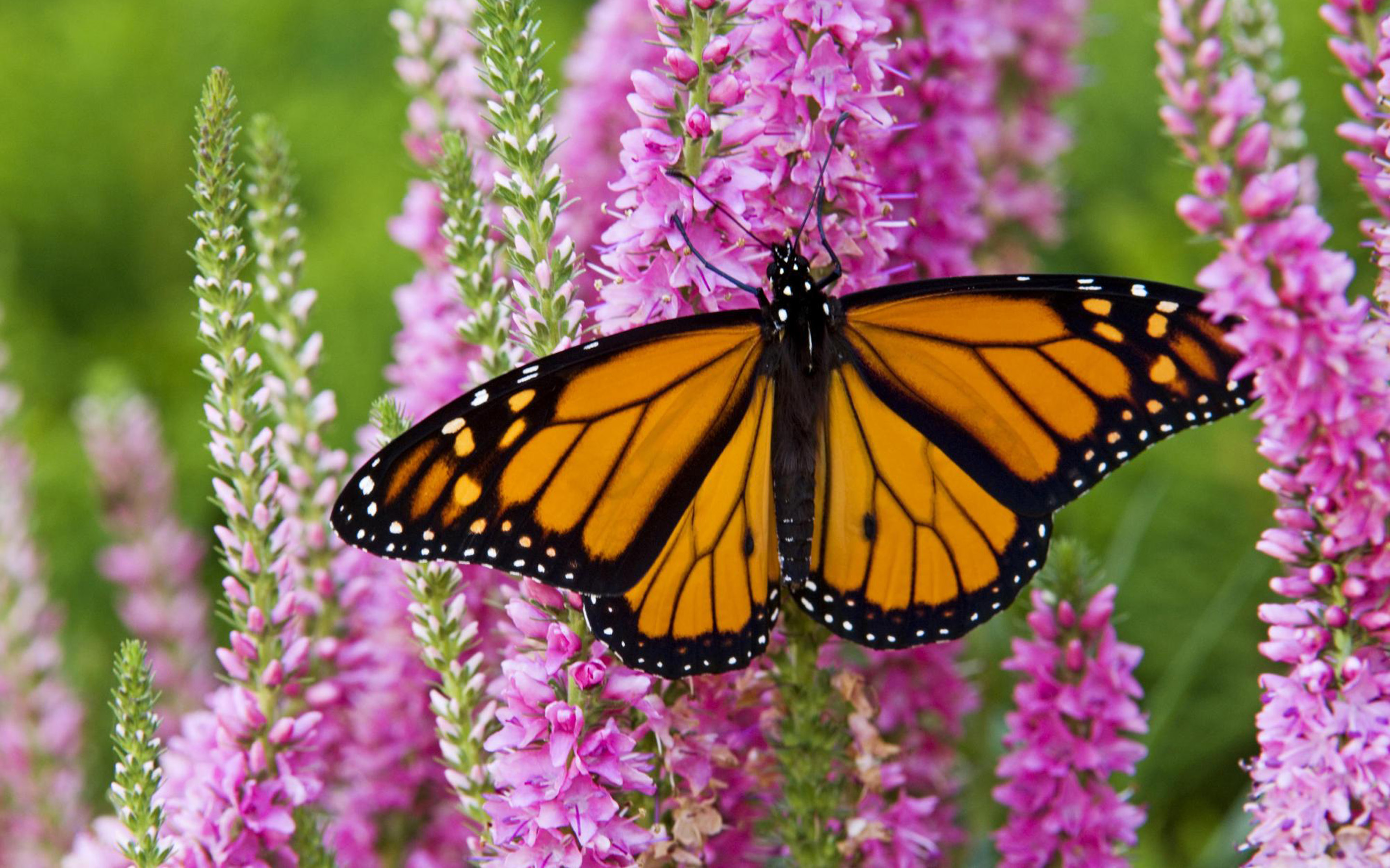 13 Monarch Butterfly HD Wallpapers Background Images   Wallpaper 2880x1800