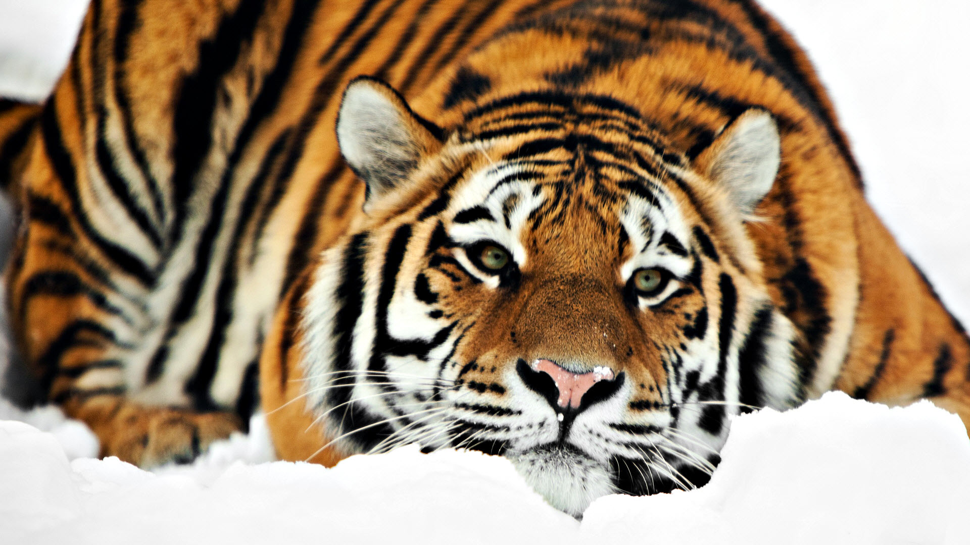 TIGER WALLPAPERS 1920x1080