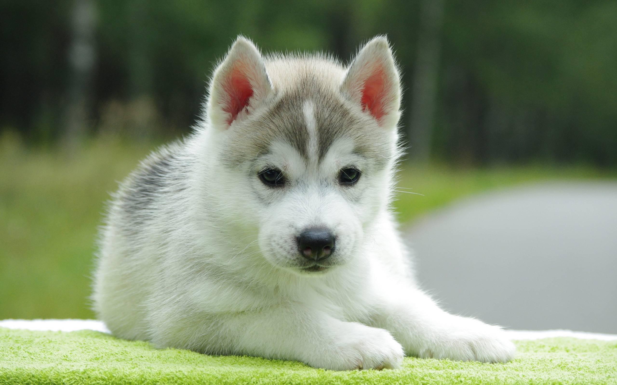 Husky Cute Puppy   Dogs Wallpaper 2560x1600