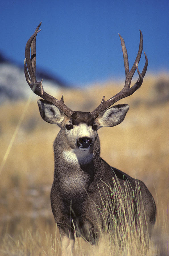 Mule Deer Wallpapers HD FREE - Android Apps on Google Play