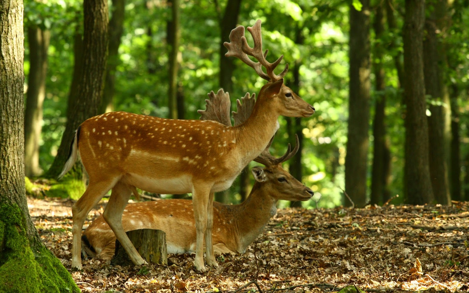 Beautiful Wallpapers deer wallpaper 1600x1000