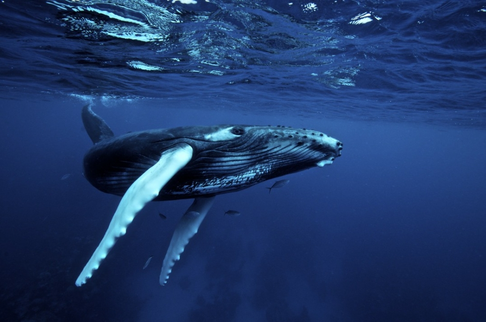 humpback is a baleen whale and that whales sing the most complex song 1000x663
