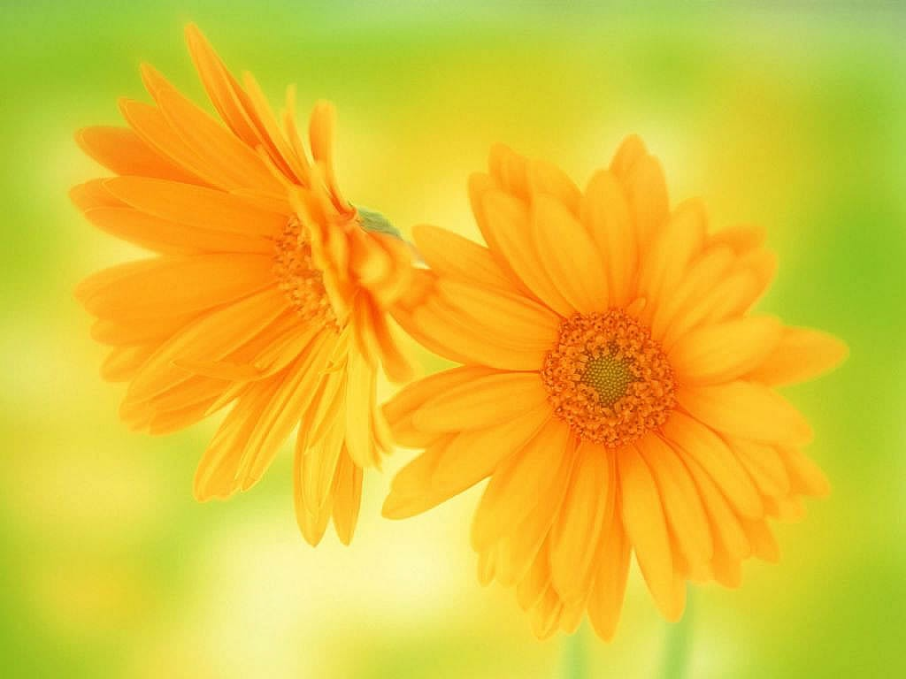 flowers for flower lovers Daisy flowers HD desktop wallpapers 1024x768