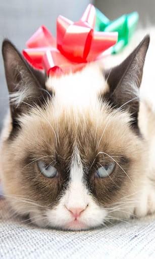 Grumpy Cat HD Wallpaper sweety cats grumpy pritty cats cat 307x512