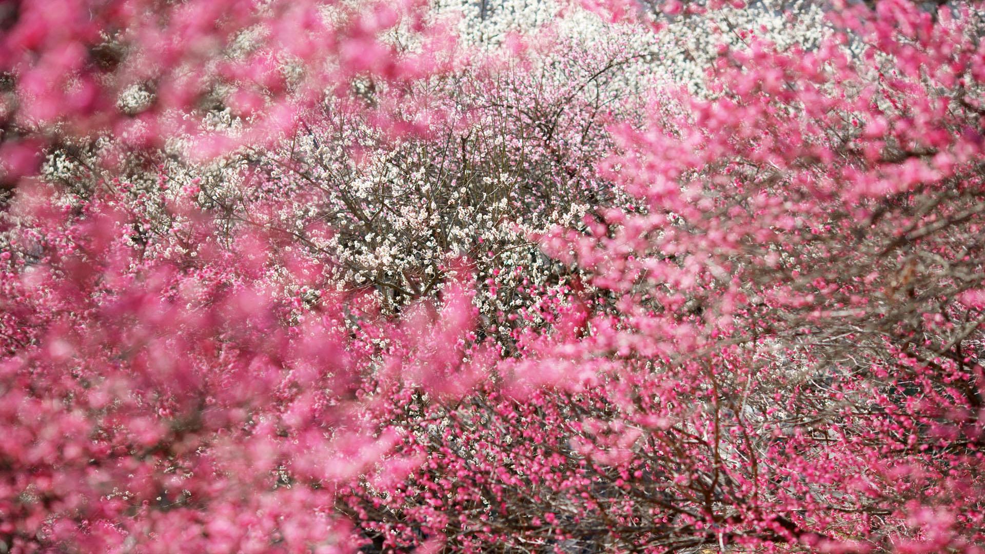 Flower Fall Wallpapers Hd Gmgpinkfallcoat1009935 Pink Autumn Scene