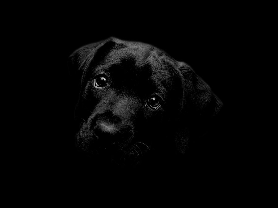 Black Labrador Wallpaper by cazcastalla 900x675
