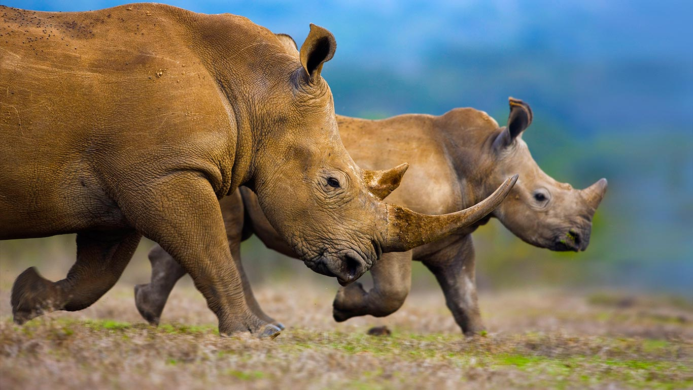 Southern white rhinoceros mother and calf Theo AllofsMasterfile 1366x768