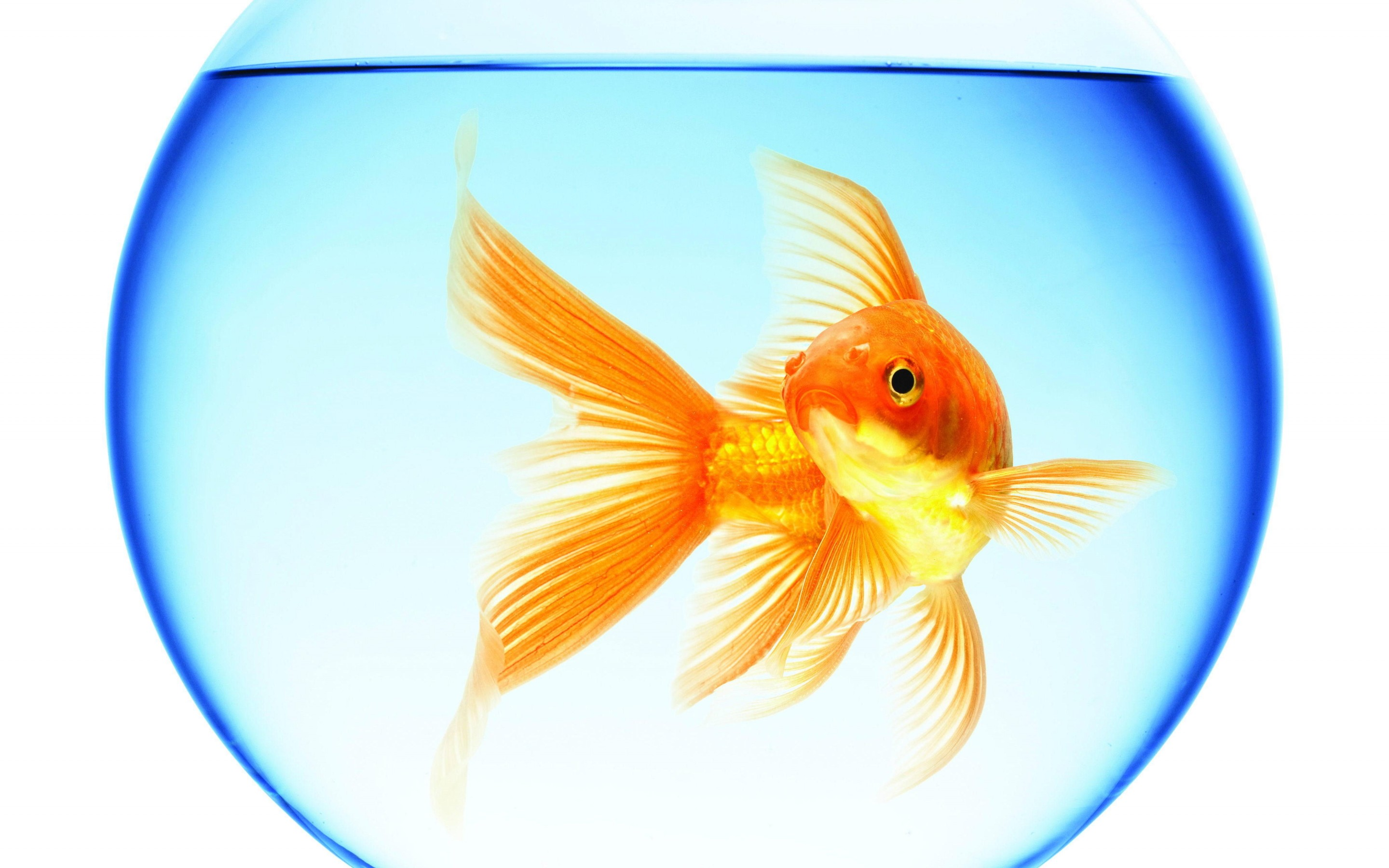 goldfish swimming aquarium round water reflection white background 2880x1800
