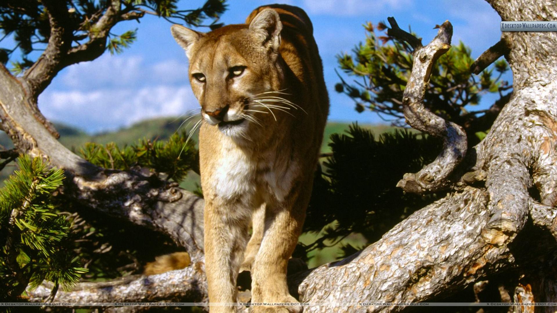 Free Download Mountain Lion 10 Wallpaper Background Hd