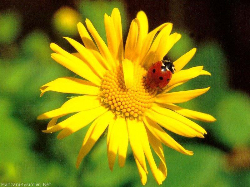 ladybug screensavers and wallpaper