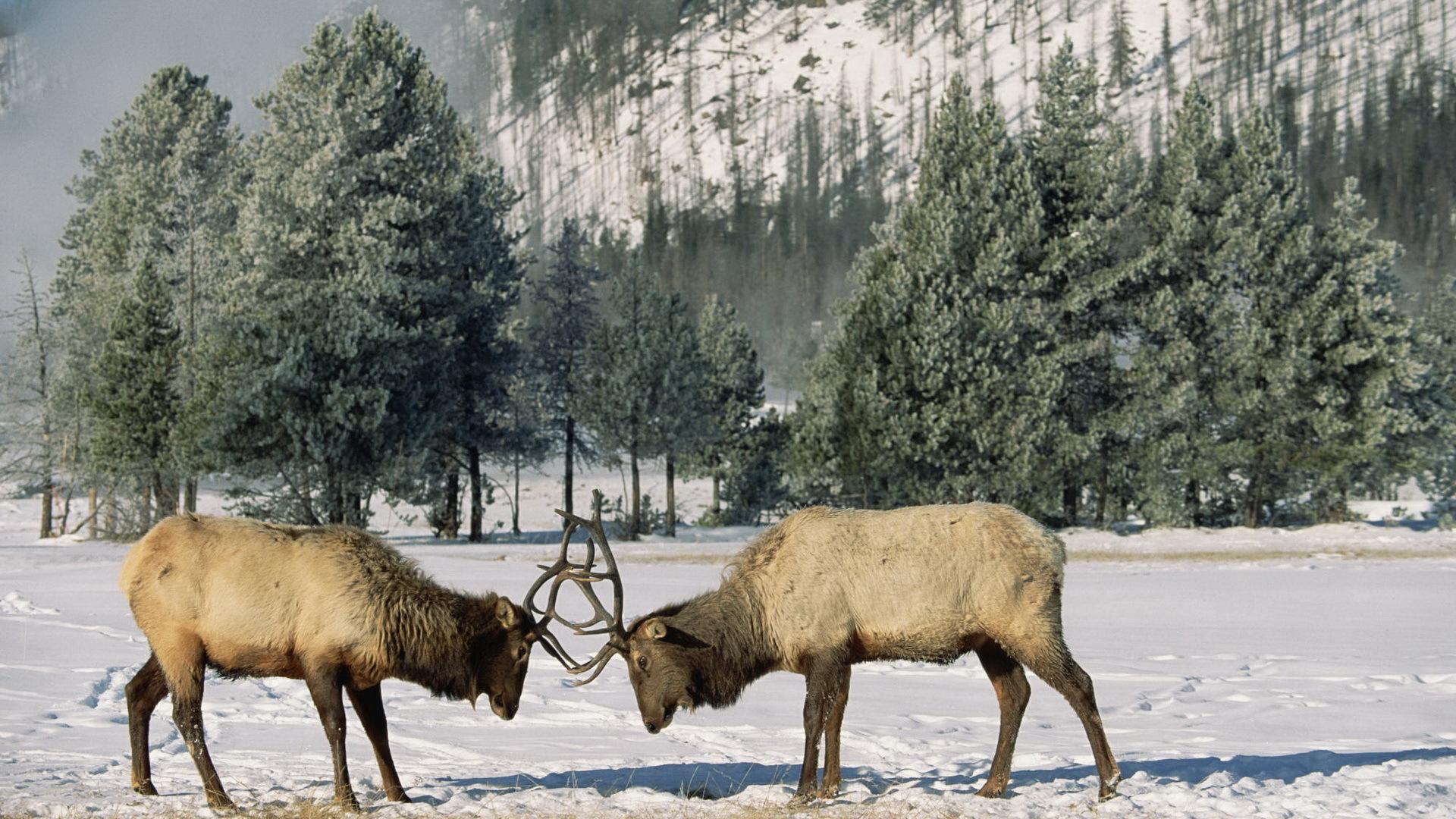 winter snow steam deer antlers fight HD Desktop Wallpapers 1920x1080