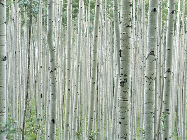 Tree Pattern Photos Trees Wallpaper Gallery    National Geographic 600x450