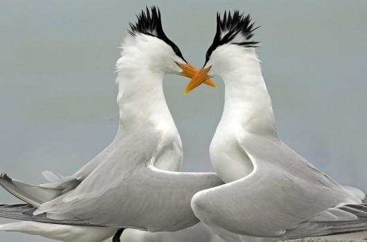 lover animal couple wallpaper background wallpaper for laptop 530x350