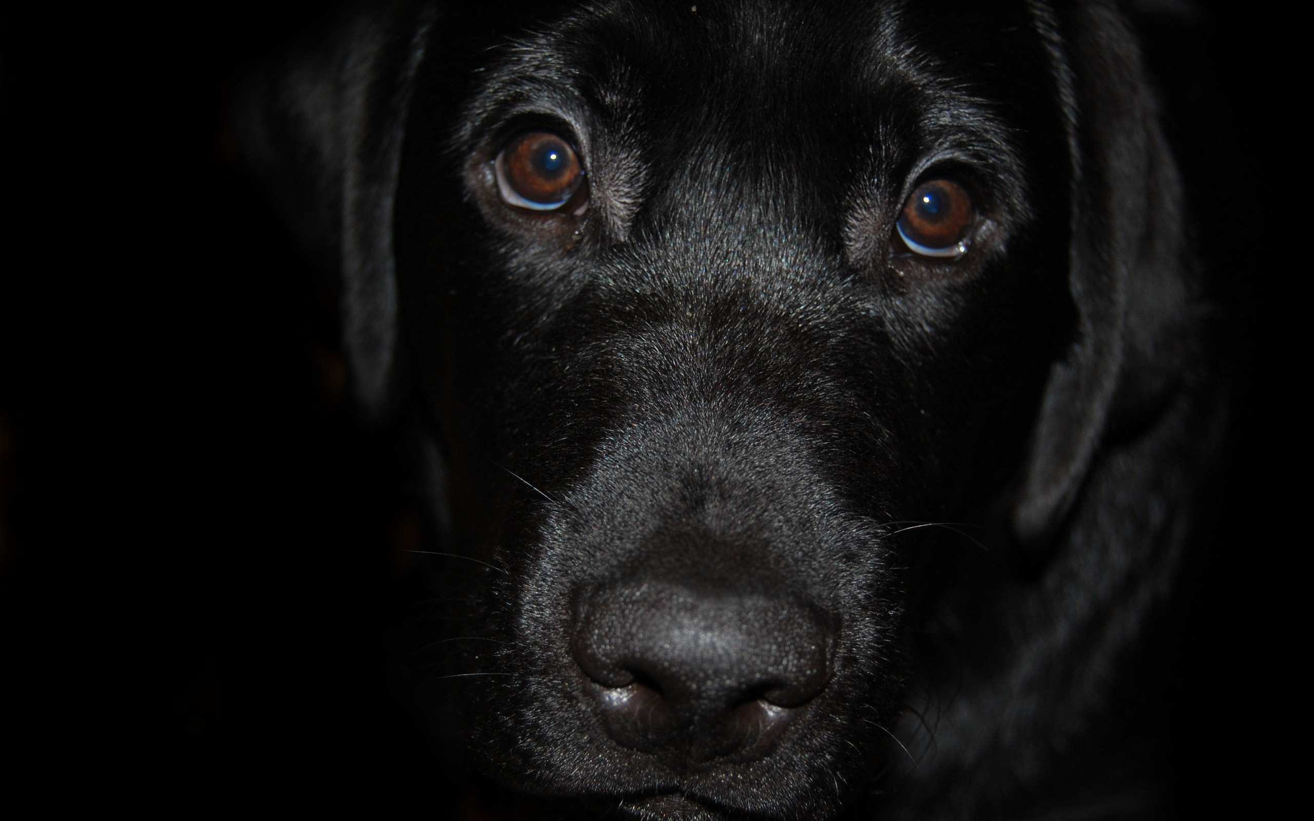 Wallpaper black labrador dog muzzle nose eyes desktop wallpaper 2560x1600