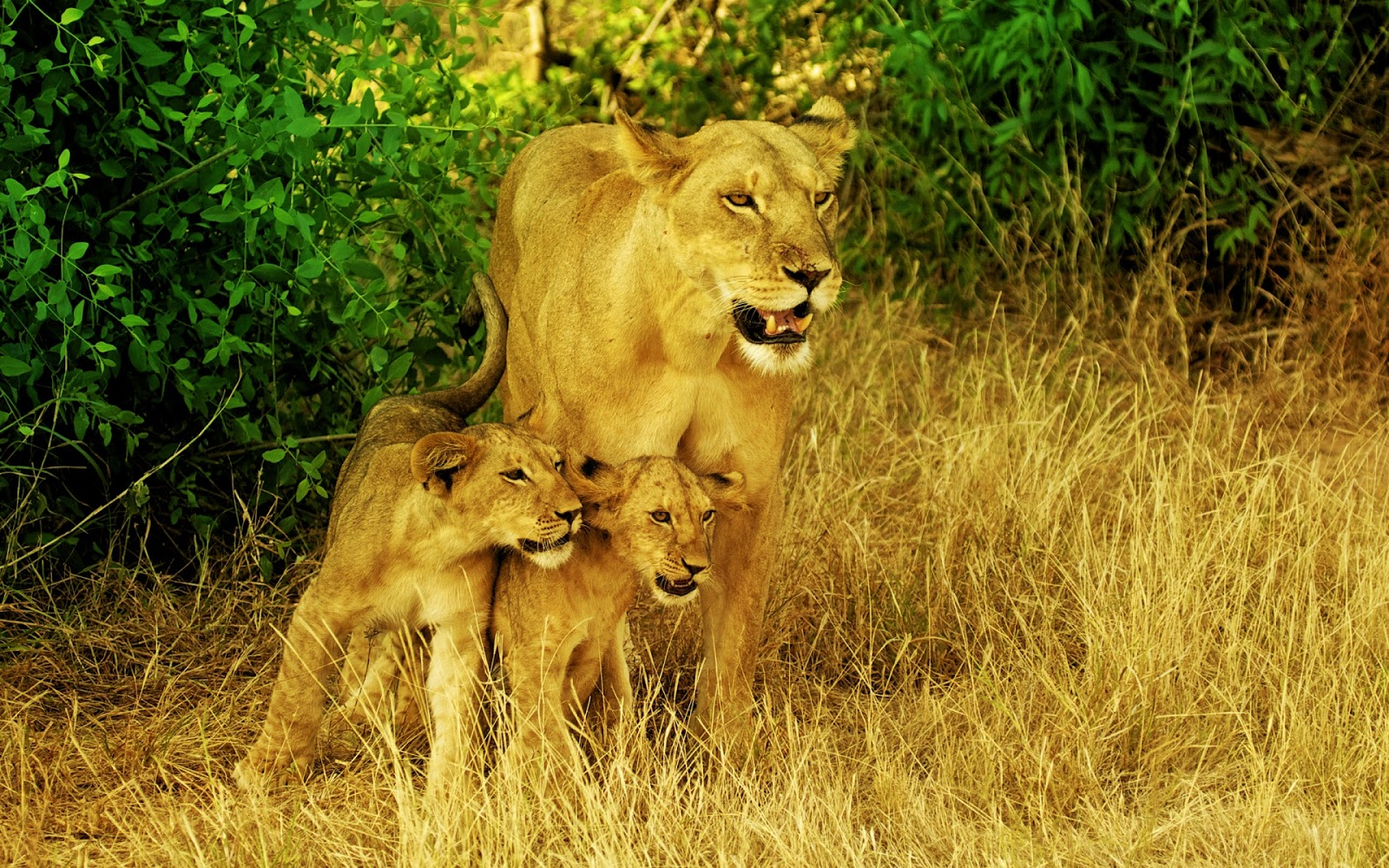 Africas Lions Family Full HD Desktop Wallpapers 1080p 1600x1000