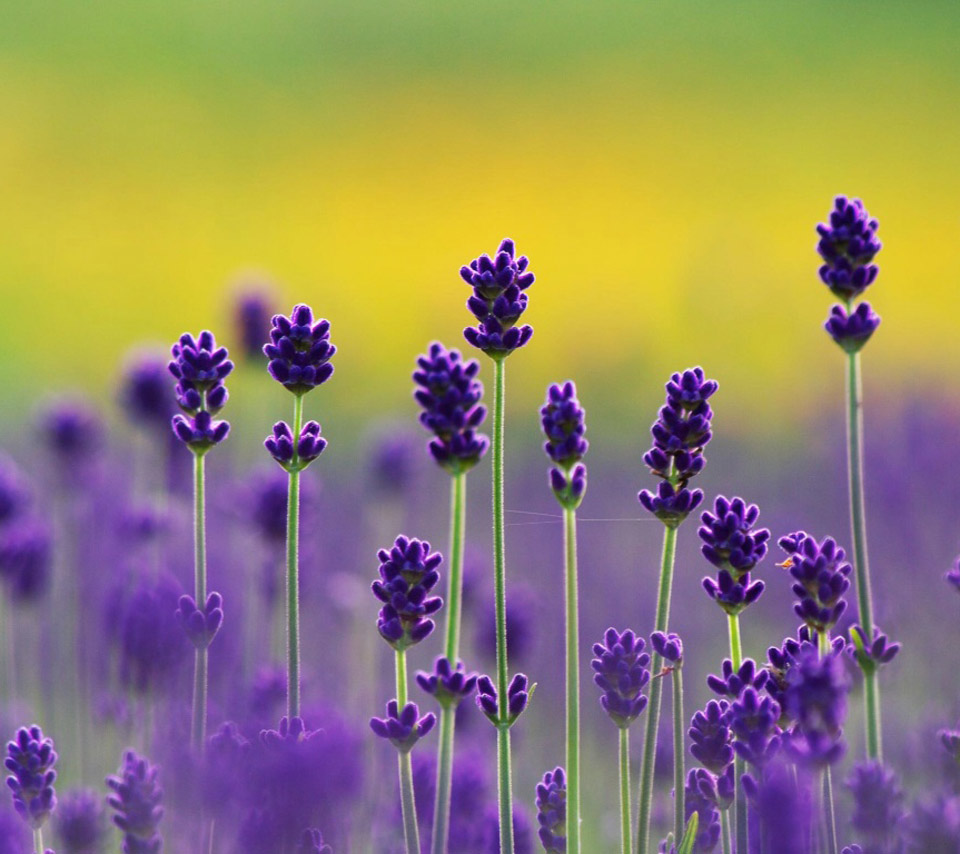 Lavender Wallpaper wallpaper Lavender Wallpaper hd wallpaper 960x854