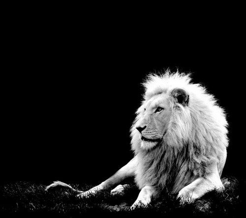 25 Beautiful White Lion Wallpaper 500x444