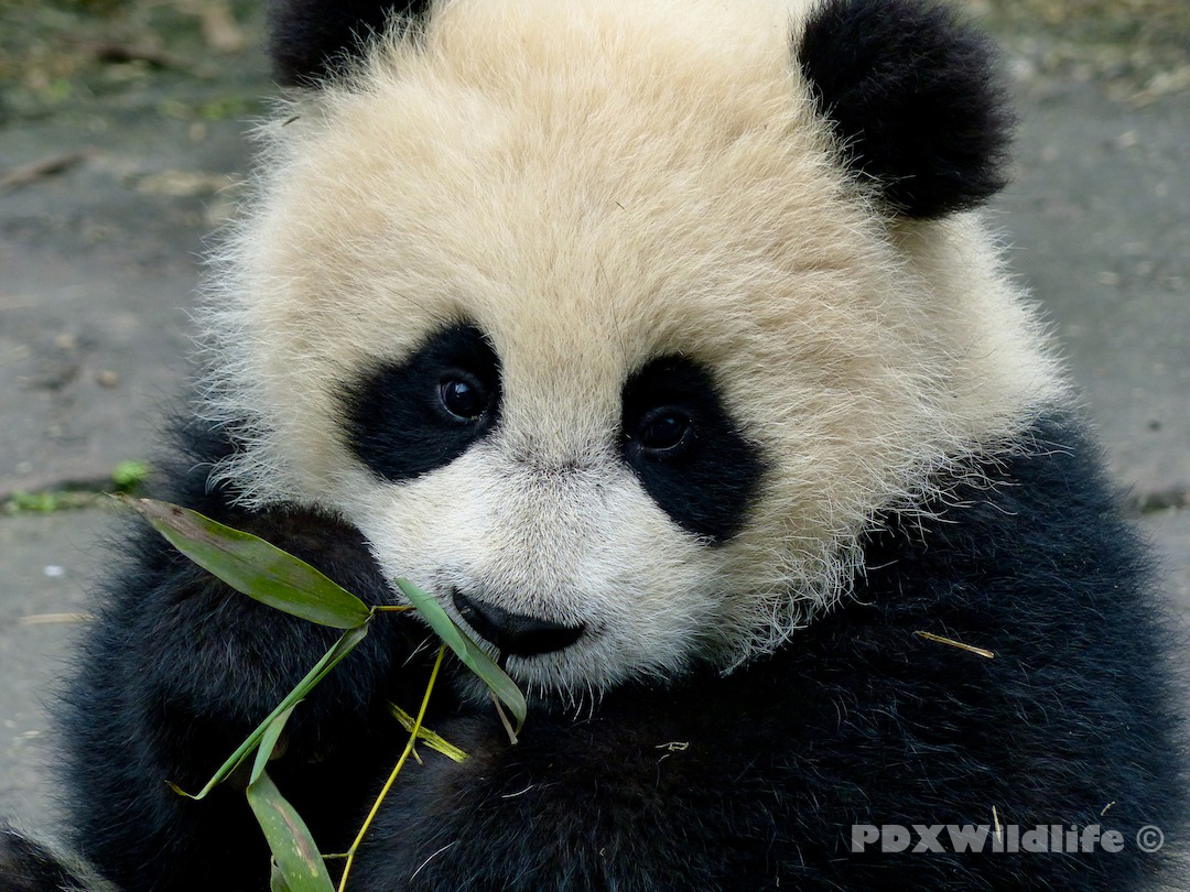 Baby Pandas Playing Panda Tumblr Backgrounds Cute Panda Tumblr 1080x810