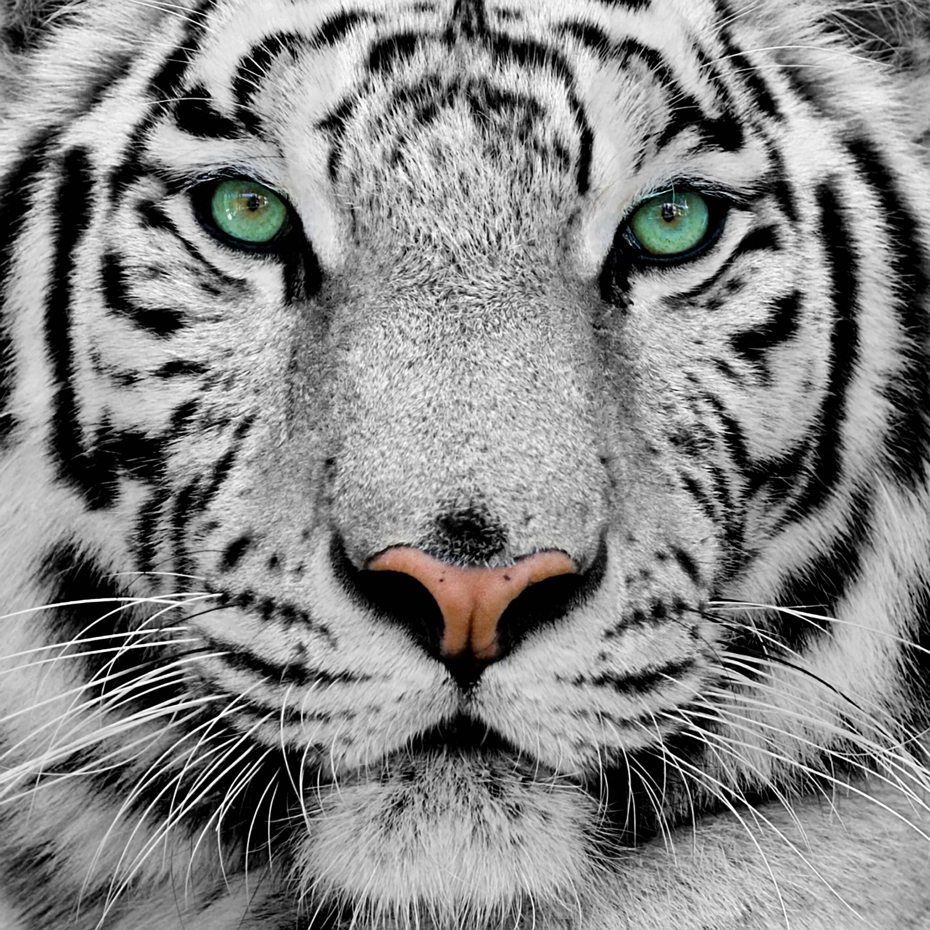 Wallpapers HD For Mac White Tiger Tiger Tiger For Wallpapers 3012x3012