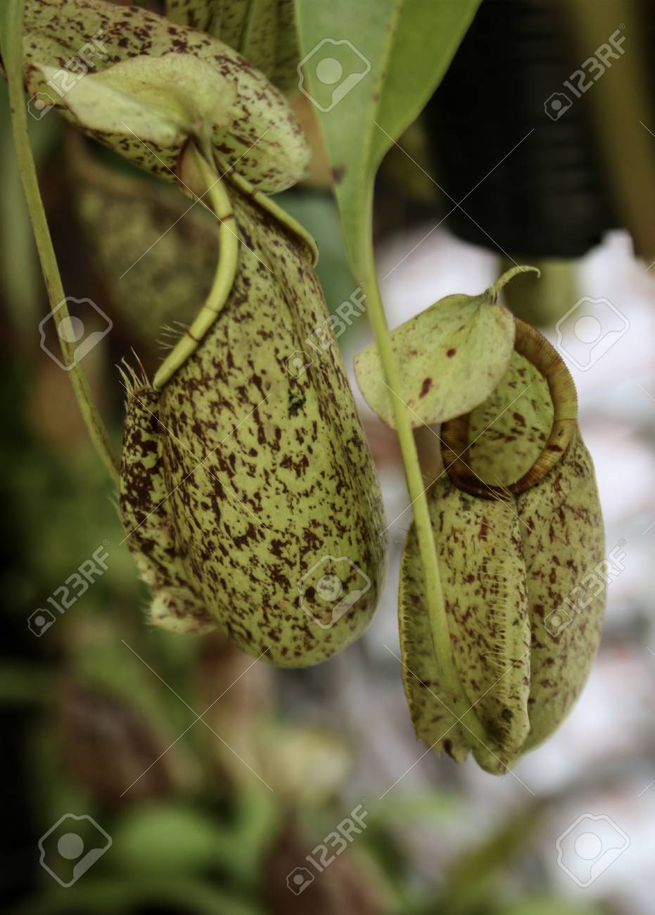 Best Closeup of nepenthes with blurred Wallpapers 8 Images 931x1300